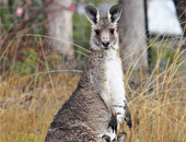 View Kangaroos on an Australia cruise