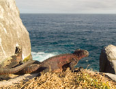 Iguanas on a Galapagos cruise