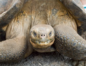 Giant Tortoises can be seen during a Galapagos cruise